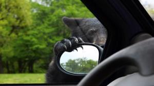 علاقه خندهدار یک خرس به خودروهای پارک شده!