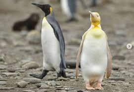 پنگوئنی که هر روز با کوله پشتی برای خرید ماهی به بازار می رود!