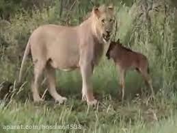 حمایت یک شیر درنده از بچه گوزن در برابر سایر شیرها!