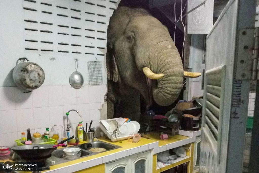 فیلی در حال غذا خوردن در آشپزخانه ای در تایلند
