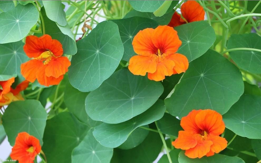 تصاویری از گلهای خوردنی