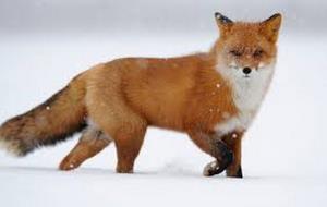 فرار کردن روباه از پلنگ برفی