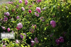 سالانه ۱۸۸ تن گیاه دارویی در بروجرد تولید میشود