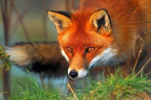 روباهی که طعمه عقاب شد!