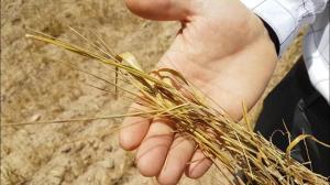 پرداخت خسارت خشکسالی به کشاورزان پیگیری میشود