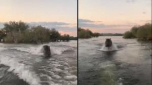 لحظه دلهره آور حمله اسب آبی به قایق گردشگران!