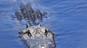 حمله وحشتناک تمساح غول پیکر به یک غواص