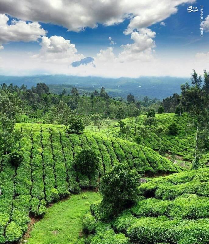مزارع دیدنی چای