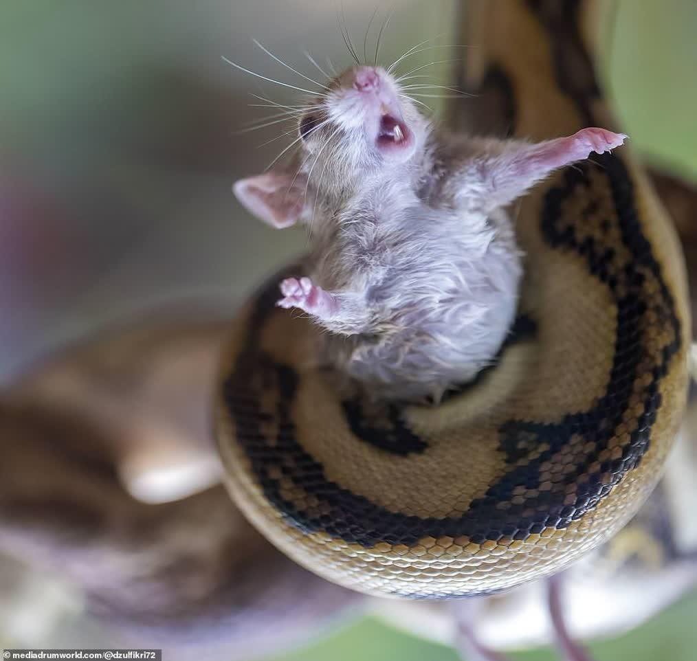 تصاویری خاص از بلعیده شدن موش زنده توسط مار