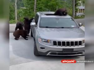 خودرو سواری خرس های کنجکاو!