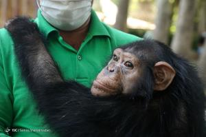 بدرقه «باران» شامپانزه باغ ارم به کنیا