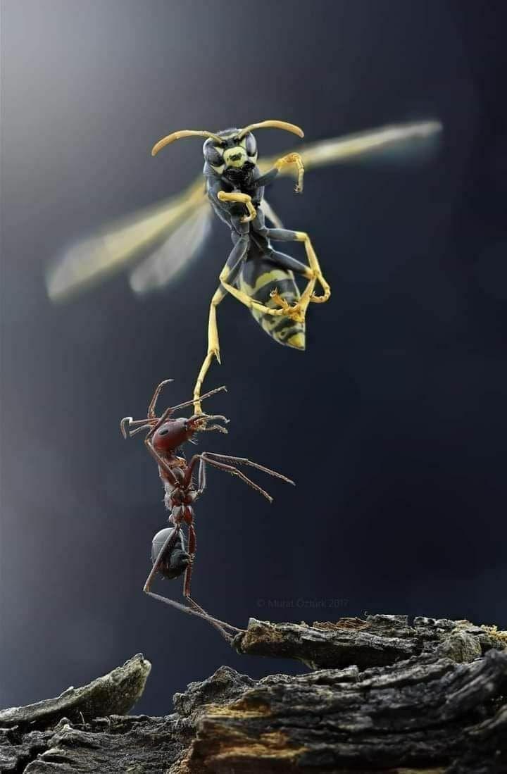 مورچه ای در حال شکار زنبور