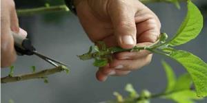 آموزش قلمه گیری از گیاه