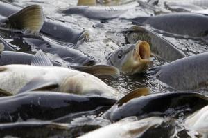 نجات ۱۵ هزار قطعه ماهی از مرگ در رودخانههای کردستان