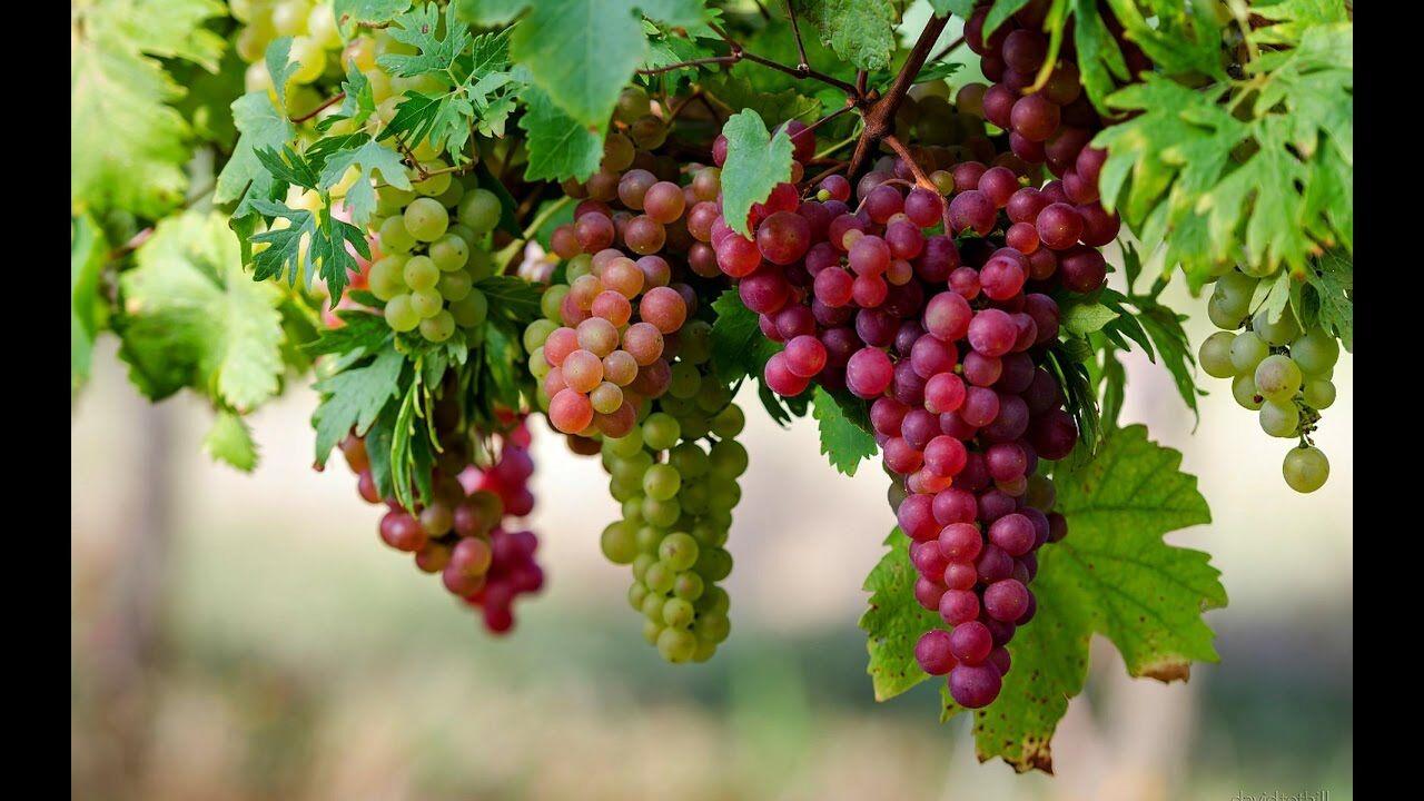 از ۸ مزيت سلامتي انگور غافل نشويد