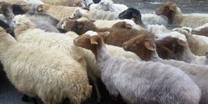 هشدار اتحادیه سراسری دامداران؛ گرانی گوشت در راه است؟