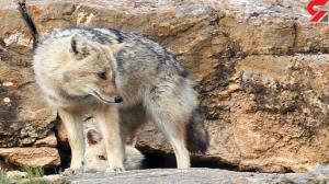 حمله گرگ وحشی به کودک همدانی