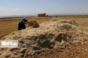 میزان خرید تضمینی گندم در کردستان ۲۸ درصد کاهش یافت