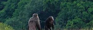 شامپانزه ها برای اولین بار دو گوریل را کشتند و خوردند!