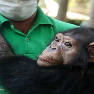 آخرین وضعیت شامپانزه ایرانی در کنیا