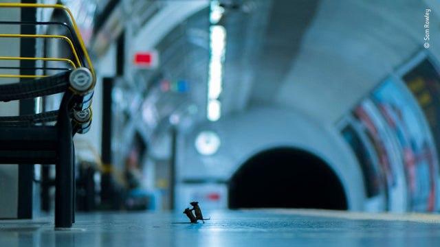 دعوای دو موش در متروی لندن