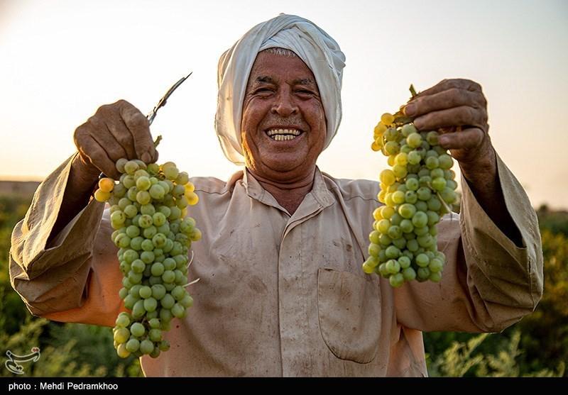 عکس/ برداشت انگور از تاکستان های غزاویه