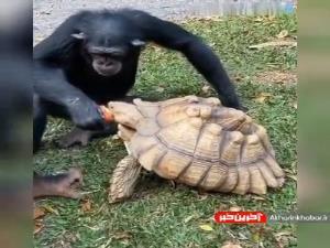 سیب دادن میمون به لاکپشت