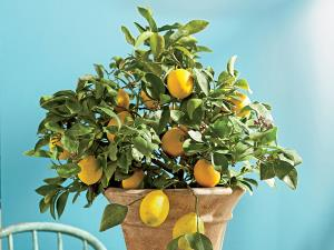 آموزش کشت آسان لیمو ترش در خانه