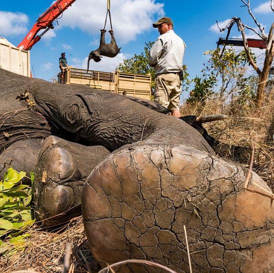 کف پای فیل از نمایی نزدیک!