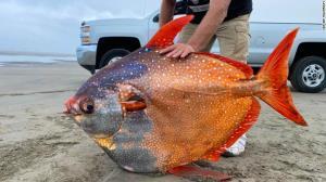 پیدا شدن یک ماهی رنگی غول پیکر و نادر در سواحل اوریگون