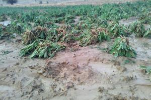 خسارت ۴۳۰ میلیارد ریالی بارندگی به بخش کشاورزی شهرستان کرمان