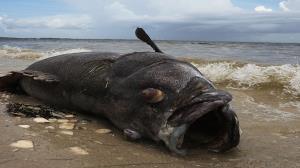 پیدا شدن یک ماهی غولپیکر در سواحل خلیج تامپا