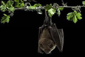 ویروس کرونا در خفاشهای انگلیسی کشف شد