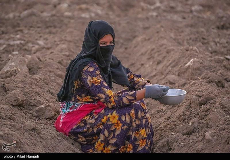 کاشت لوبیا در حمیدیه خوزستان