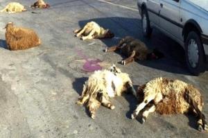 ۱۴ رأس گوسفند در تصادف با کامیون در سمیرم تلف شدند