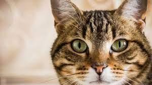 لحظه خندهدار تلاش ناموفق یک گربه در عبور از موانع