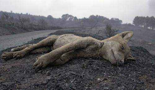 تصویری غم انگیز از حیوان سوخته در آتش سوزی