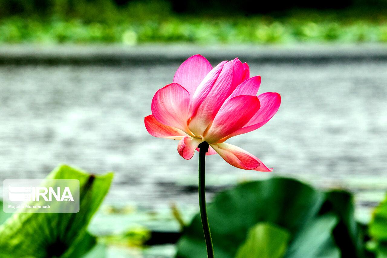 گل لاله تالابی