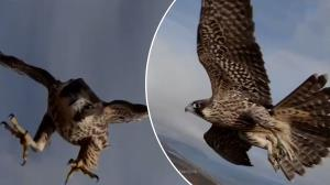 ربوده شدن یک پهپاد توسط پرنده در آسمان