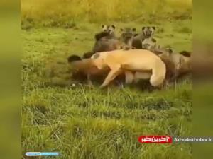 حمله کفتارها به شیر تنها