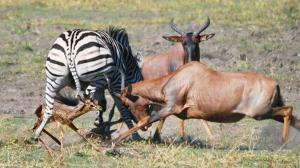 حملات بی امان گورخرها به بچه گاوگوزن