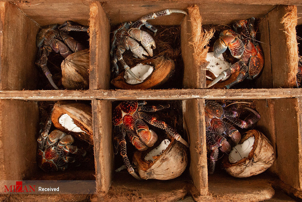 صید خرچنگ نارگیلی