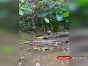 فرار راکون از چنگ تمساح