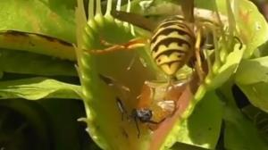 لحظه بلعیده شدن زنبور عسل توسط گیاه گوشت خوار