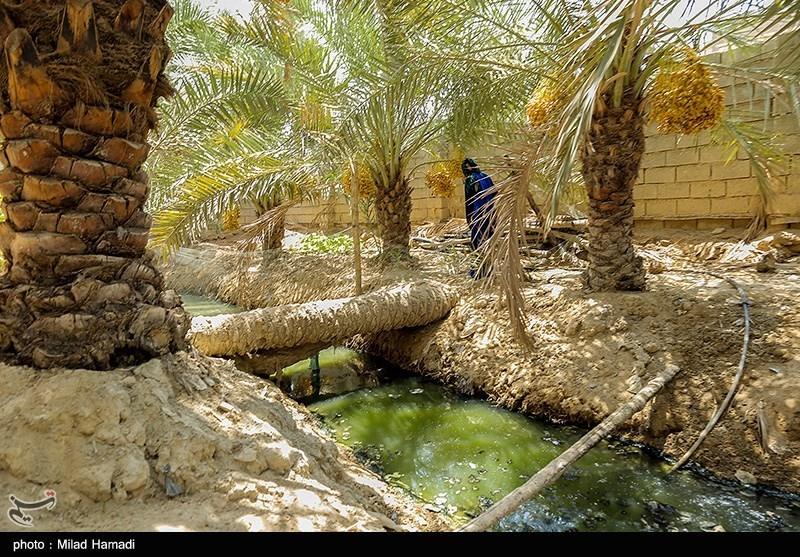 عکس/ نخلهای شهر خنافره ماهشهر در آستانه نابودی
