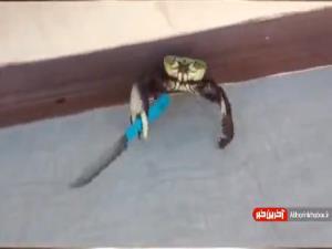 تا به حال خرچنگ چاقوکش دیده بودین!