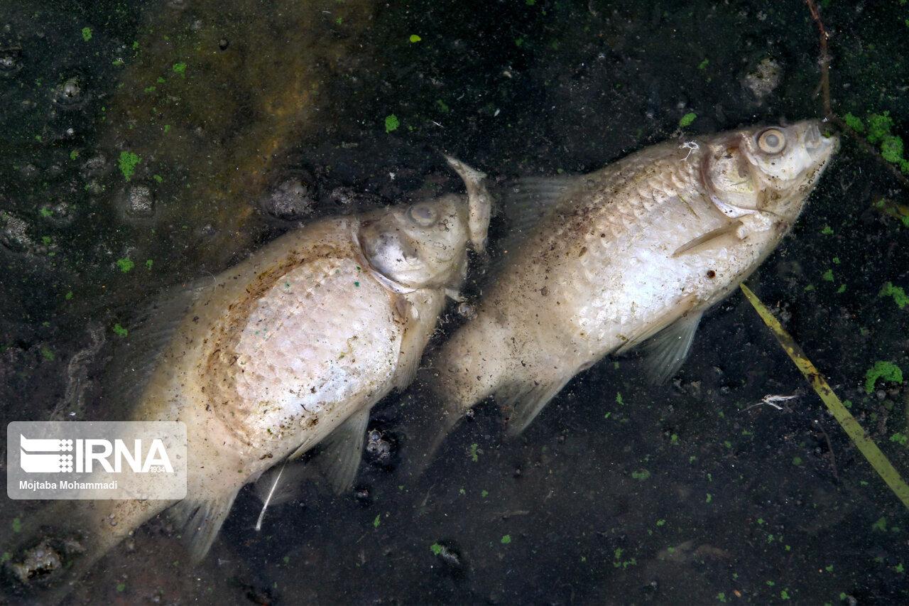 عکس/ مرگ ماهیهای پرورشی در تالاب عینک رشت