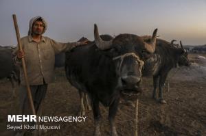 احداث ۴۰ استخر برای گاومیشهای خوزستان