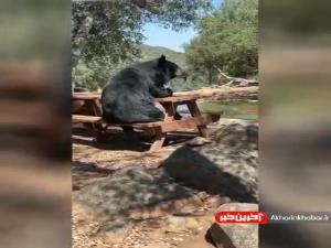نشستن خرس روی میز و نیمکت!