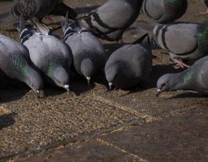 شکارچیان غیرمجاز کبوتر وحشی در تویسرکان جریمه شدند